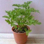 蚊を寄せ付けない植物「蚊連草」の効果~育て方と増やし方