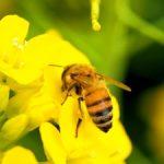 巣蜜とハチミツの栄養価の違い~プロポリスの効能